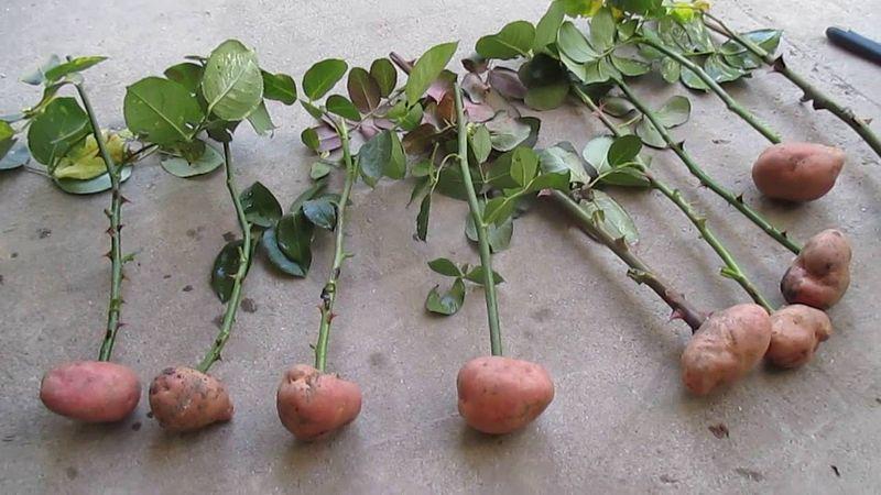 Как вырастить розы из картошки